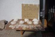 Scallop shells for sale