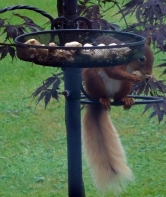 Red squirrel at Hazel Bank Country House, Borrowdale