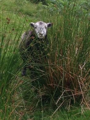 A cute Herdwick ('Herdie') sheep