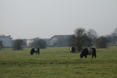 Cows so close to London!