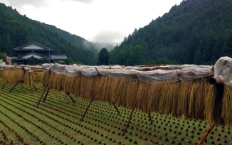 Rice hanging to dry