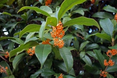 'Kinmokusei' (gold osmanthus), my favourite smelling flower