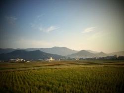 Rice fields, day 25