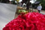'Kaeru' (Green frog)