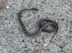 Mamushi venomous snake, various colours