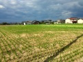 Harvested rice fields