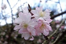 'Sakura' (cherry blossom)