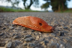 I often see lots of black slugs but this was the first time to see an orange one