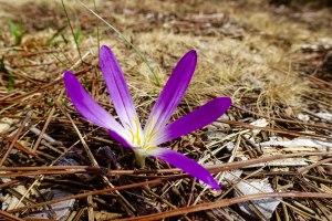 Crocus flower in Peneda Geres N.P.