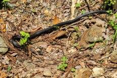 Black snake just after Jagata Jizo