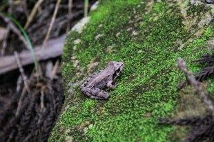 Leaf-lookalike frog