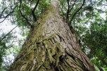 Giant cedar trees in Ise Naiku Shrine