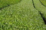 Rows of green tea bushes