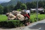 Harvesting green tea on the Iseji route