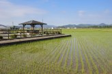 Rice fields on the outskirts of Ise