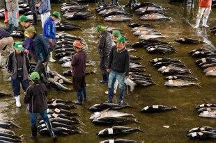 Tuna auctions at Kii Katsuura morning fish market