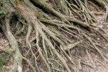 Intricate tree roots in the Danjo Garan temple complex, Koyasan