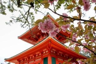 Cherry blossom and Konpon Daito, great pagoda, Koyasan