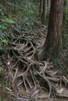 Tree roots along the Nyoninmichi path, Koyasan