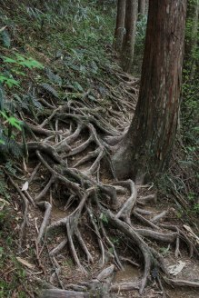 Tree roots along the Nyoninmichi path, Koyasan