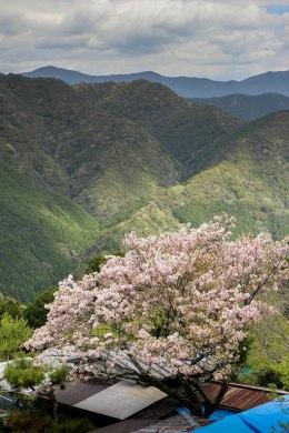 Cherry blossom in Takahara