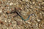 Japanese five-lined skink