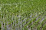 Rice fields outside of Tanabe city on the Ohechi route