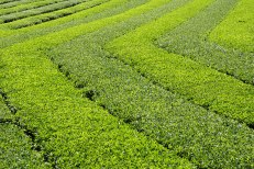 Green tea bushes on the Iseji route