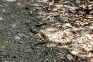 A yamakagashi tiger keelback maybe? I had to walk behind this!