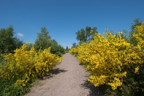 Gorse and a glorious blue sky day in Scotland