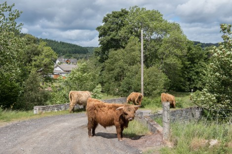 The irresistibly cute Highland cows