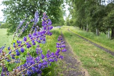 Lupins along the trail