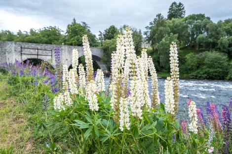 Lupins and Old Spey Bridge, Grantown on Spey