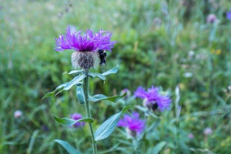 Do bumble bees sleep under thistles?