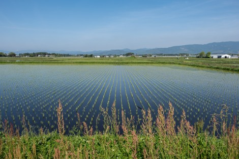 Freshly planted rice fields