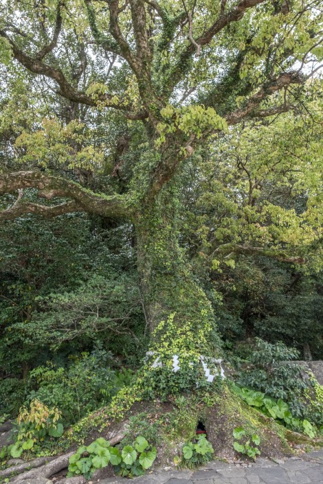 A large kusunoki (camphor) tree