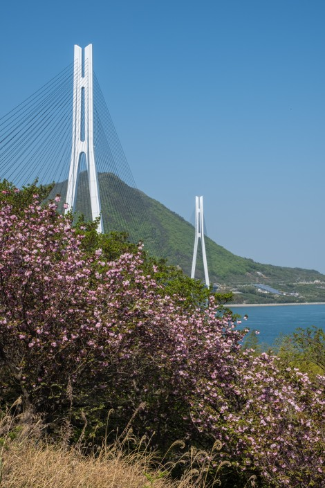 Sakura cherry blossom and Tatara cable bridge (1,480m) along the Shimanami Kaido cycling path