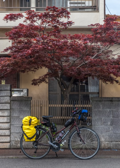 Why my bike is called Momiji - it's the same colour as this maple tree (called momiji!)