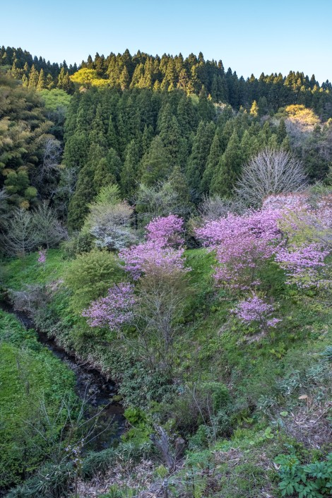 Cherry blossoms are still blooming here in the Noto Peninsula!