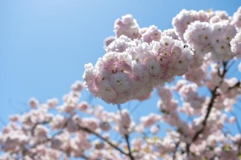 Sakura!!