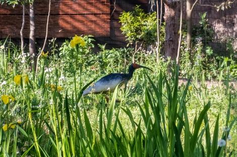 An ibis on Sado Island