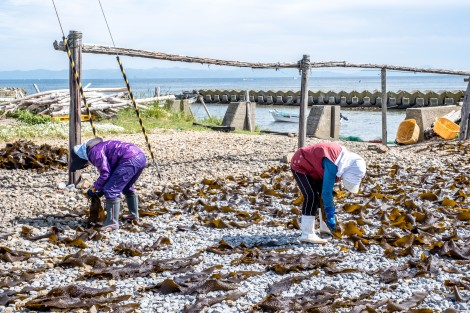 Locals drying kelp seaweed