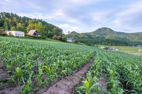 Corn and rice fields around Lake Toya