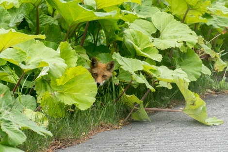 Playing peek-a-boo with a Hokkaido fox