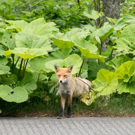 Cute Hokkaido fox