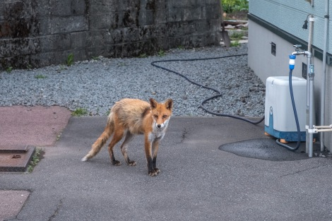 A fox in Pippu
