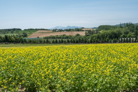 Yellow mustard flowers at Flower Land Kamifurano