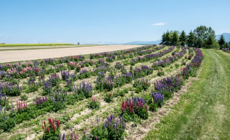 Lupins at Flower Land Kamifurano