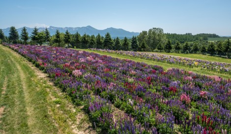 Lupins and irises at Flower Land Kamifurano
