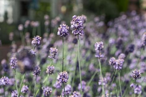 Lavender at Farm Tomita, Furano